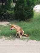 Dingo on the side of the road!